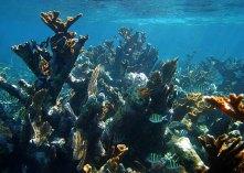 Рыбки-сержанты в коралловых зарослях.