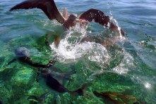 Борьба олуши с подводными обитателями за кусок пропитания.
