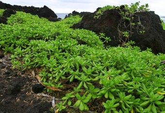 Молодые побеги гелиотропа, растущие прямо на лаве. Парк Wai'anapanapa.
