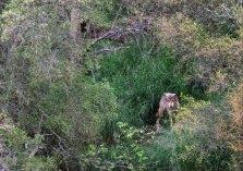Волчица, оценивающая обстановку на водопаде.