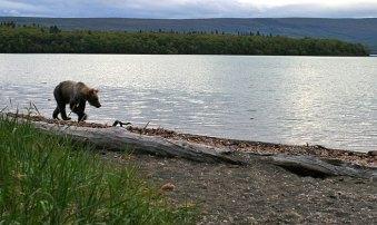 Бредущий в сумерках по берегу медведь.