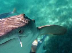 Акула-нянька, целующая объектив :) Coral Gardens, Барьерный риф.