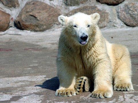 Один из трех белых медвежат, родившихся в зоопарке.
