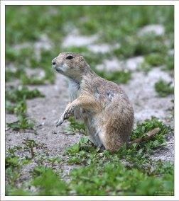 """""""Prairie dog"""" - это тявкаяющая белка с ободранным хвостом."""
