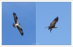 Скопа (Osprey) с уловом.