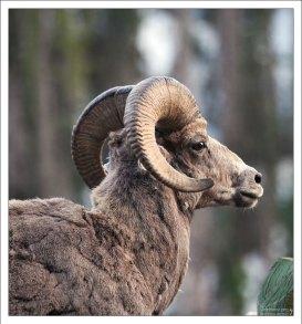 Баран-толсторог (Bighorn sheep).