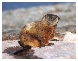 Yellow-bellied marmot, или Желтобрюхий сурок.