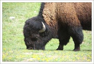 Бизон обедает.
