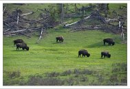 Стадо бизонов на обочине дороги.