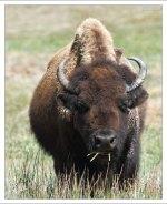 """Индейцы называют степных бизонов """"баффало""""."""