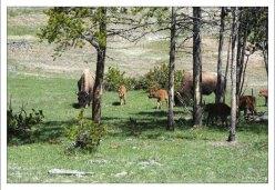 Стадо самок бизонов с малышами.