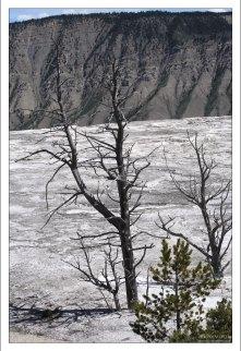 Сухие стволы деревьев на Мамонтовых террасах.