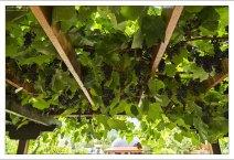 Настоящая виноградная лоза в качестве украшения таверны.