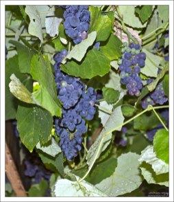 Виноградные гроздьи свисают с потолка в венгерской таверне.