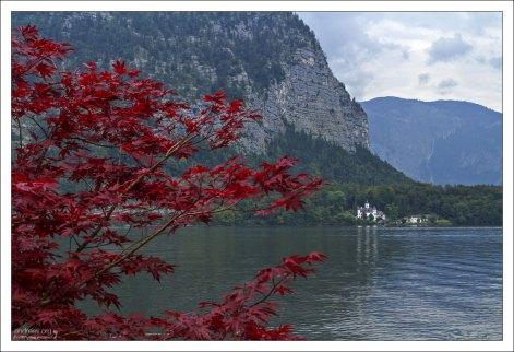 Японский клён на берегу озера Гальштаттзее.