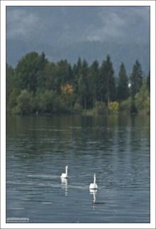 В озере Wolfgangsee водится очень много рыбы и лебедей.