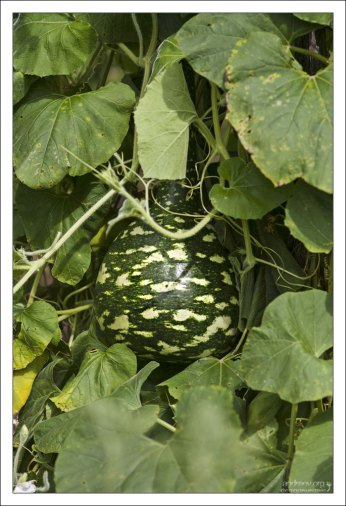 Плод лагенарии из тыквенного семейства.
