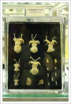 Голубоватая Россия. Rossia Glaucopis – вид головоногих моллюсков рода Rossia, встречаются в водах Арктики и в северной части Атлантического океана.