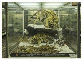 Диорама с Амурскими тиграми.