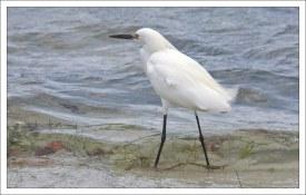 Snowy egret - белая американская цапля.
