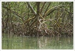 Деревья Ризофора мангле, более известные как Red Mangroves.