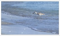 Перепончатопалый улит (Willet) - птица из семейства бекасовых, с добычей.