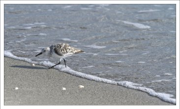 Небольшой бекас - песчанка (Sanderling).