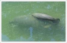 Только что родившийся ламантиненок имеет длину около 1 метра, а весит 20—30 кг.