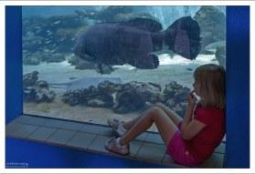 Гуаса, или Атлантический гигантский групер может дорастать до двух с половиной метров, и весить 360 кг.
