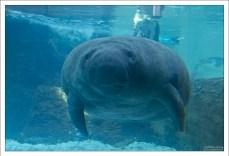 Средняя длина взрослого американского ламантина составляет приблизительно 3 м, хотя некоторые особи могут достигать 4,5 м в длину, включая хвост.