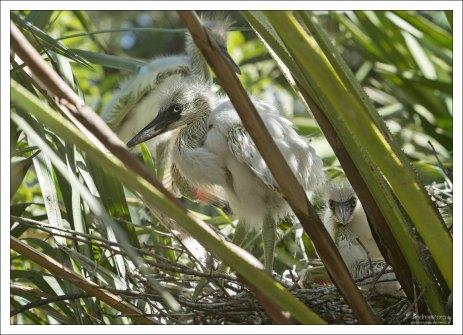 Птенцы большой белой цапли. Начнут летать через 7 недель.