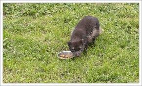 Чернобурая лисица в местном зоопарке.