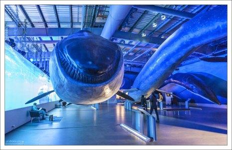 """Усатые киты (Baleen whales). Вместо зубов у них на верхней челюсти развиваются от 360 до 800 длинных роговых пластинок, называемых """"китовым усом"""", расположенных поперёк дёсен."""
