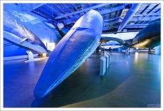 Синий кит, или блювал (Blue whale). Самый большой кит, самое большое современное животное, а также, вероятно, крупнейшее из всех животных, когда-либо существовавших на Земле. Живет до 110 лет.