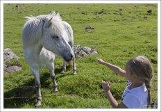 Саша пытается покормить исландскую лошадь.