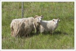 Исландские овцы с очень независимым характером.