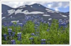 Люпин – неродной для Исландии цветок, завезенный в 1945 году из Северной Америки для борьбы с эрозией почвы.