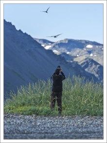Илья фотоохотится на полярных крачек - очень агрессивных северных птиц.