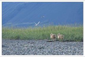 Овцы и гнездовье полярных крачек.
