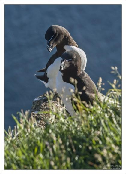 Соседи тупиков - морские птицы гагарки (лат. Alca torda).