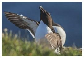 Размах крыльев гагарок достигает 70 см.