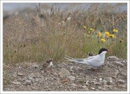 Маленькие птенцы хорошо приспособлены к суровой погоде, поэтому среди них довольно высокий процент выживаемости – 82%.