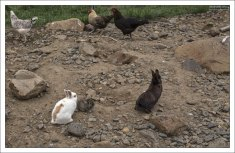 Кролики и куры на ферме Эрпстадир на северо-западе Исландии.