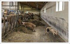 Коровник фермы Erpsstadir.