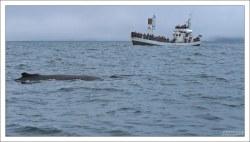 Горбатый кит довольно тихоходен: его скорость при миграциях не превышает 15 км/ч, а значит наблюдать за ним сравнительно легко.
