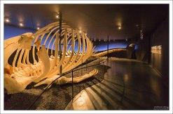 В музее представлены скелеты нескольких видов китов.