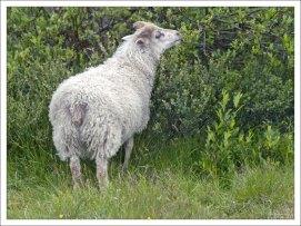 Генетически исландская овца в настоящее время не отличается от своих предков IX века.