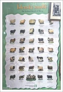 Все виды исландских овец.
