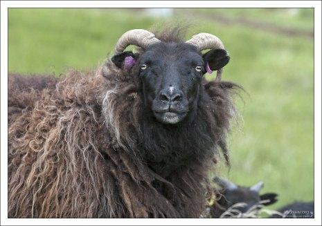 Черно-коричневая овца очень сурового вида.
