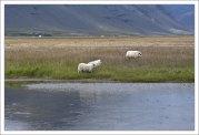 Семейство белых овец в поисках пропитания.